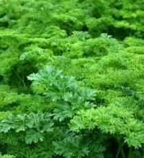 wytwarzanie zielonej tyrozyny